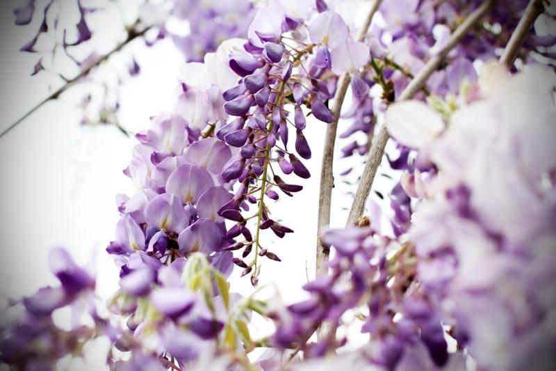 Glicine il trionfo della primavera prima del temporale for Tende lilla glicine