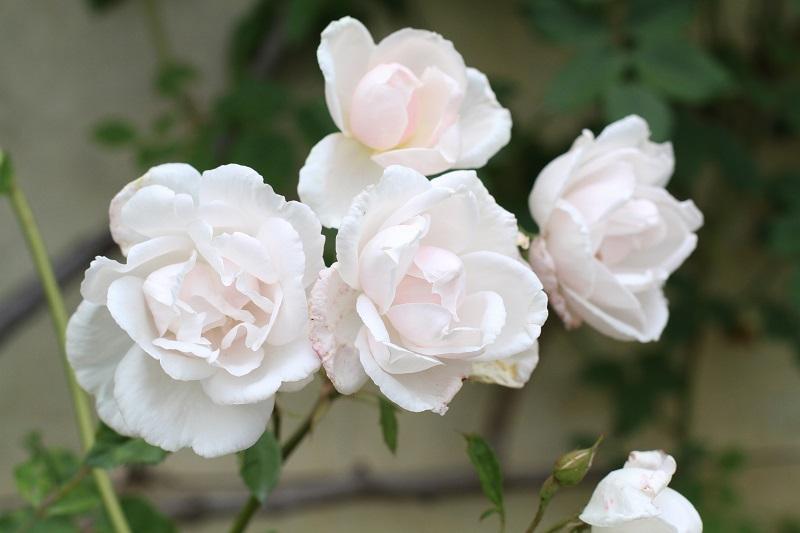 rosa | rose | rose rosa