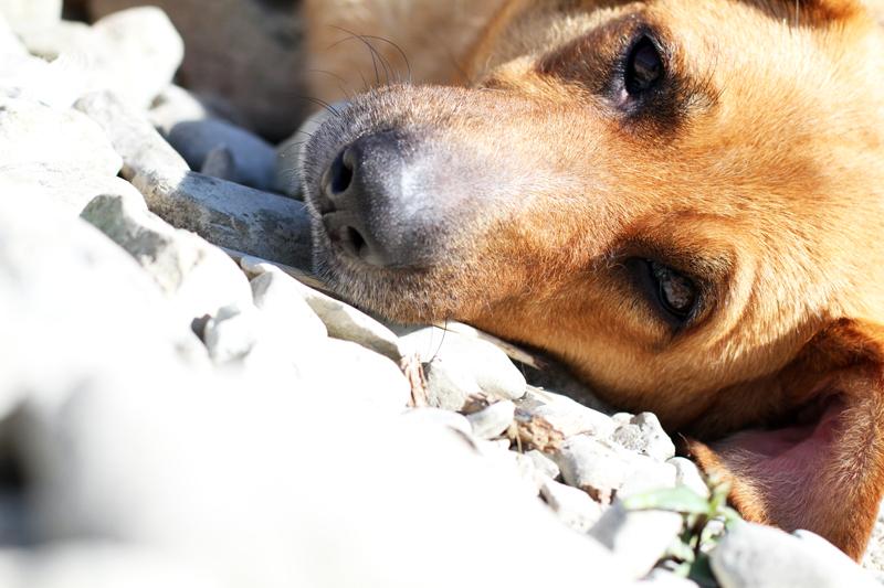 dodo | labrador | pastore tedesco | meticcio | bastardino | dodo irene closet | animali blogger | cani blogger