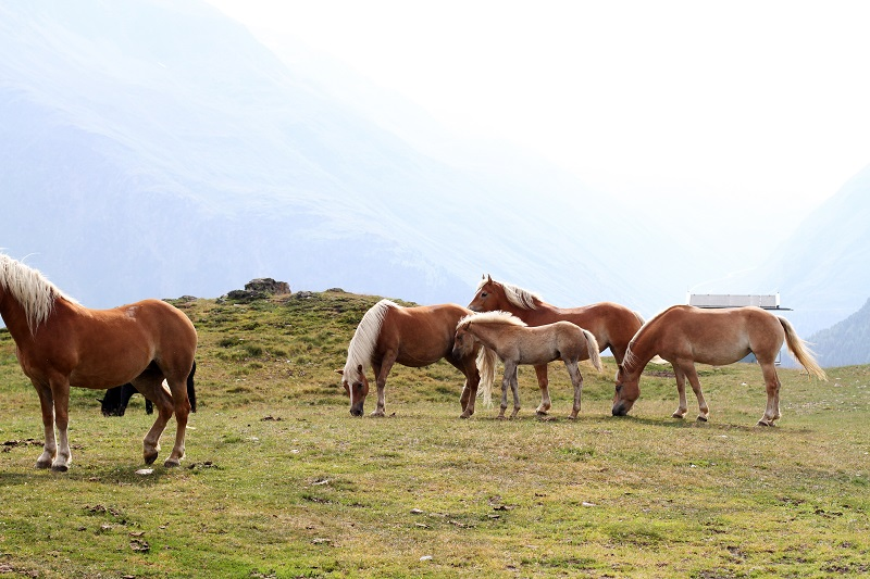 cavalli montagna   animali montagna