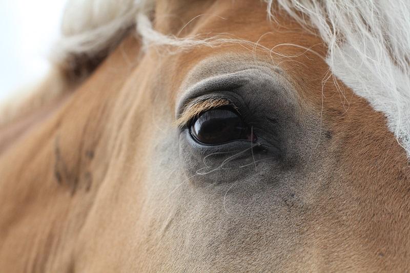 occhio cavallo | primo piano cavallo | cavallo