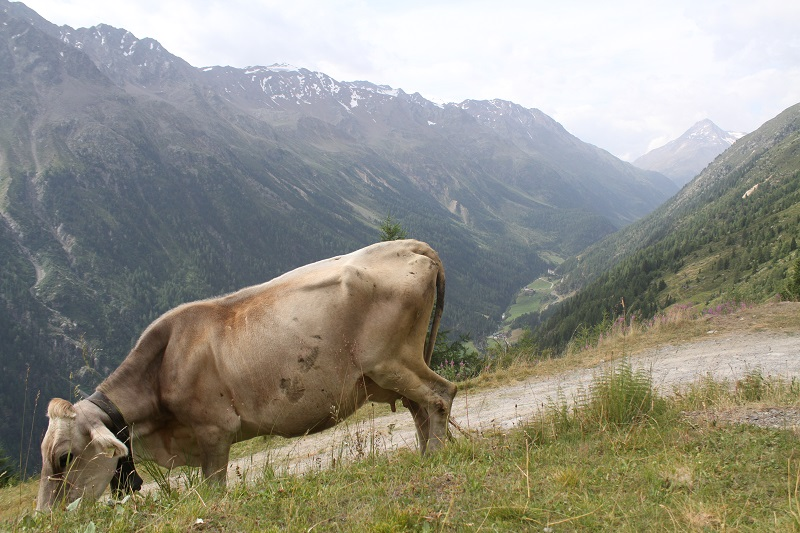 mucche   animali montagna