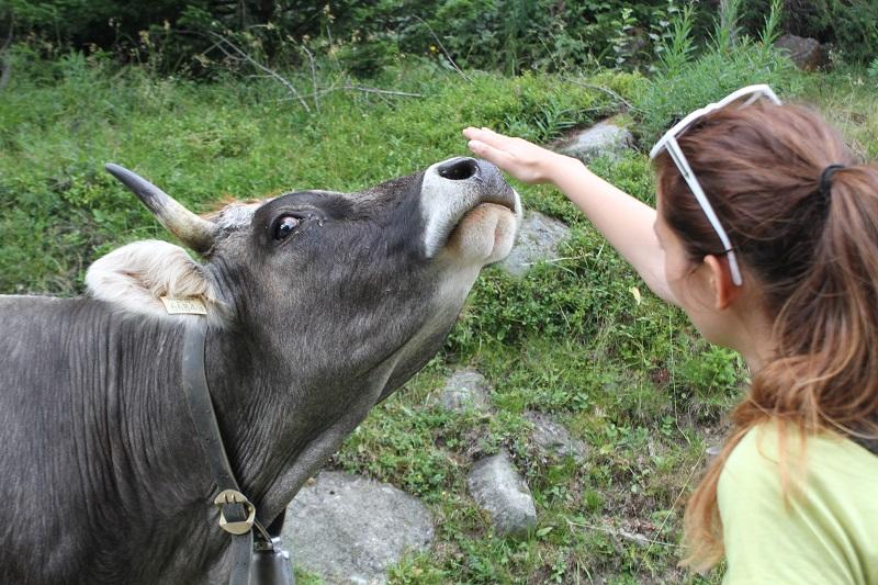 mucche montagna