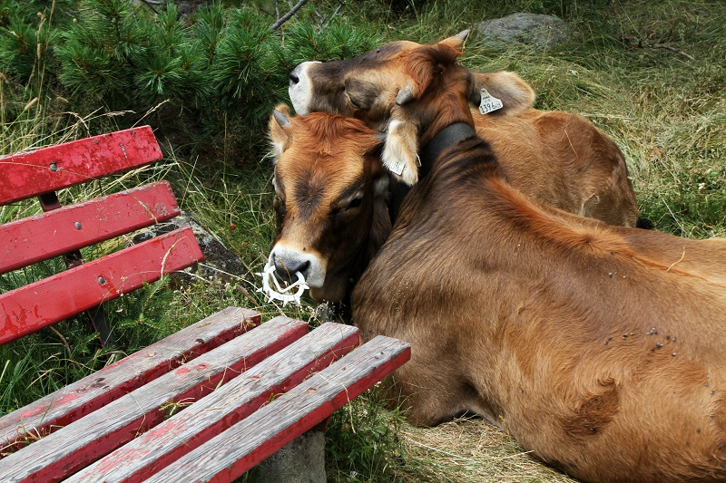 pet therapy   vitellini   mucche   animali montagna