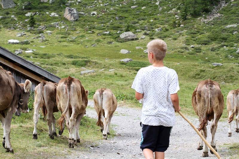 pastore | mucche | montagna | austria | tirolo | estate | valle verde