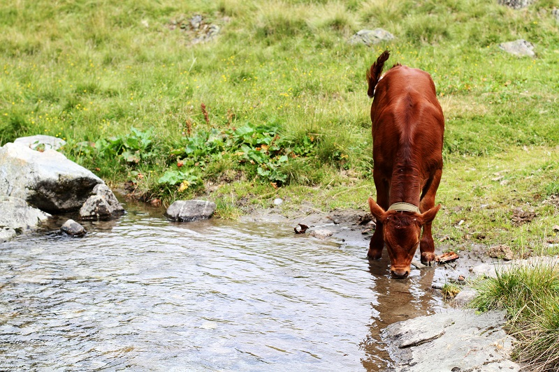 mucca | montagna | austria | tirolo | estate | valle verde