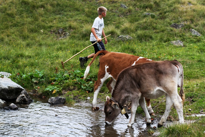 mucche | montagna | austria | tirolo | estate | valle verde