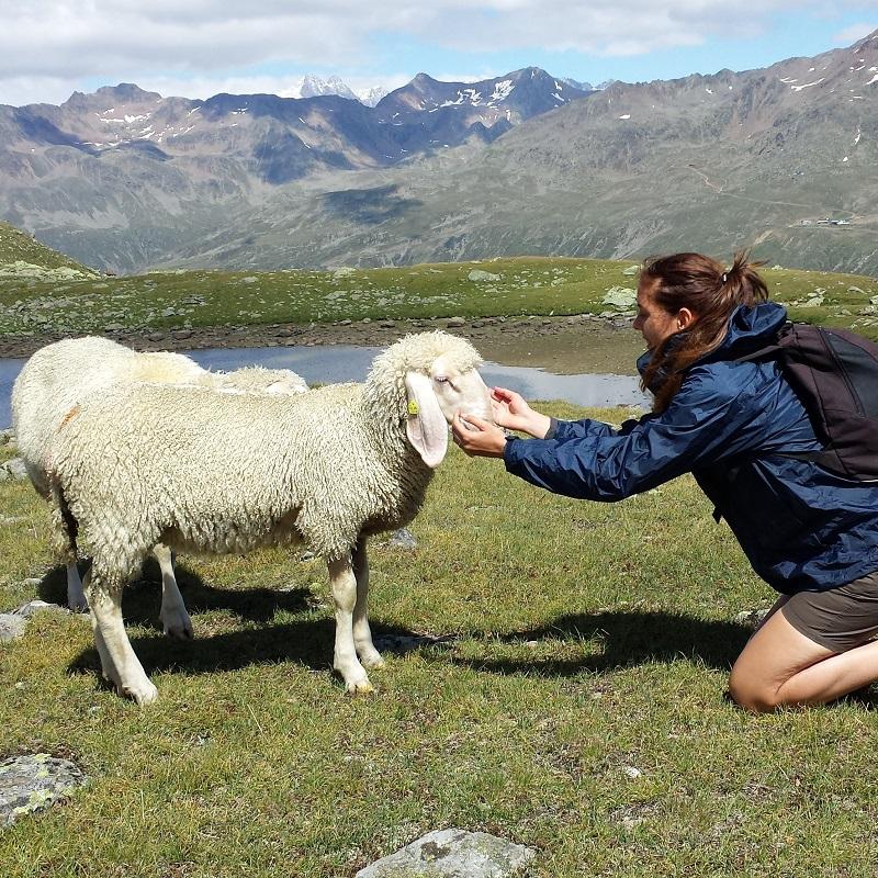 pecora | animali montagna