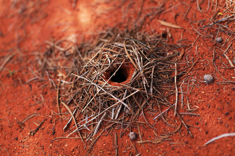 formicaio australia