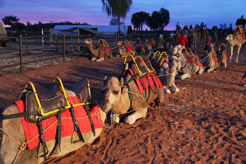 camel tours ayers rock