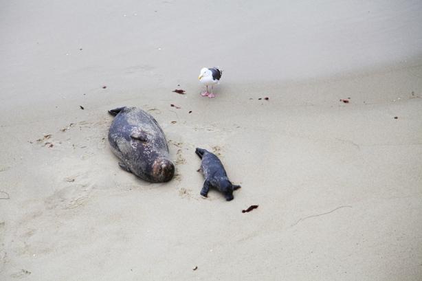 san diego beach  seal