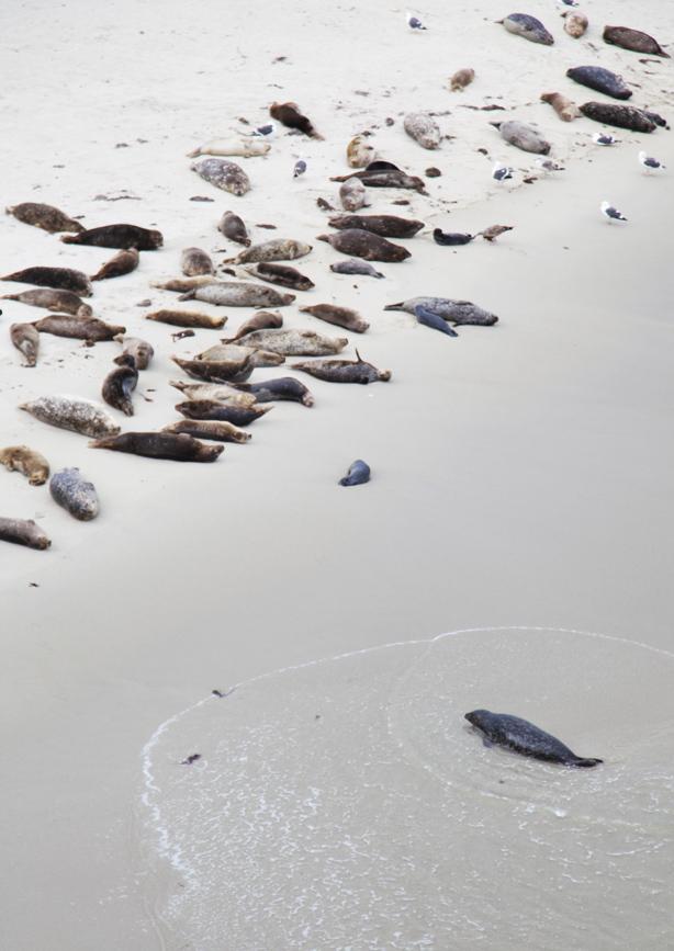 san diego beach  seals