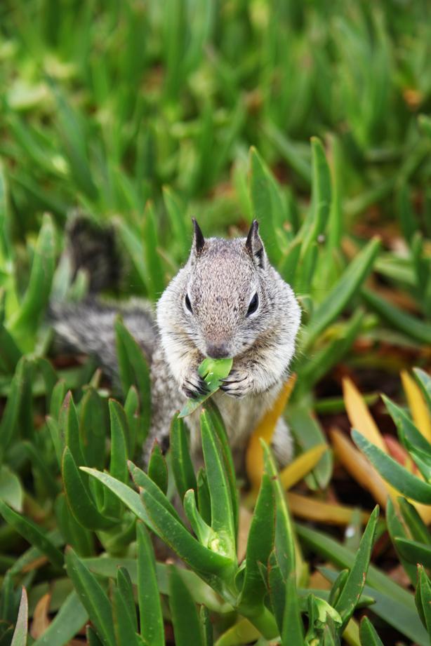san diego squirrel (1)