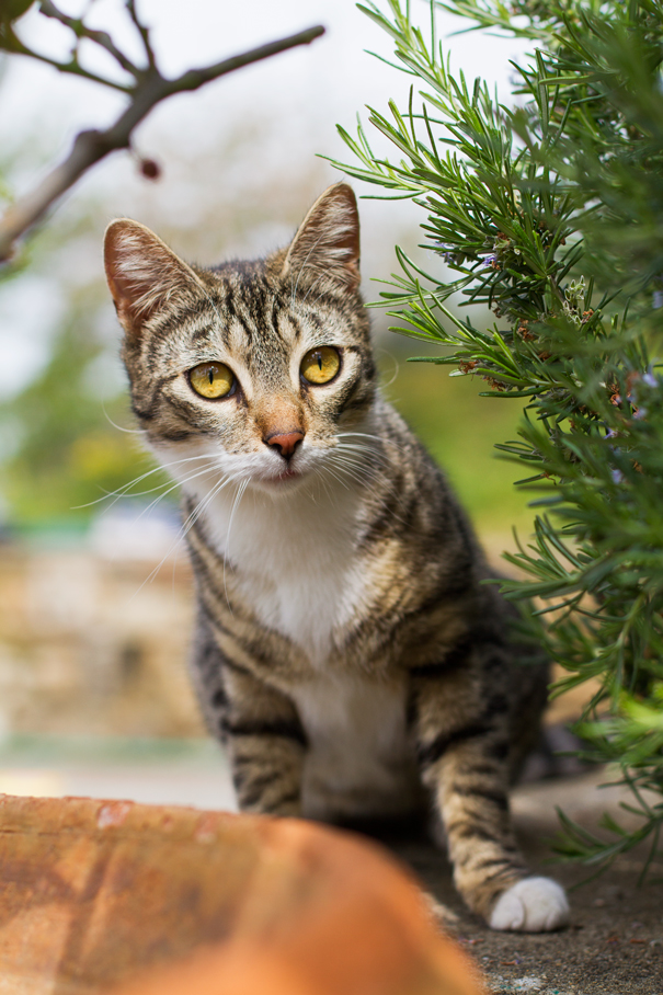 pannocchia gatto