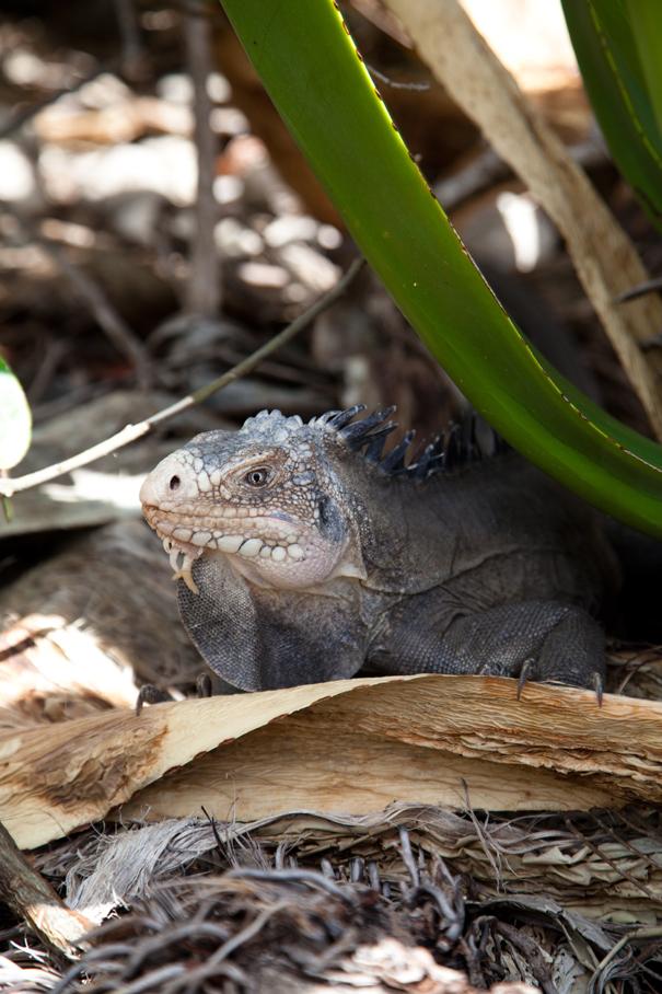 iguana caraibi
