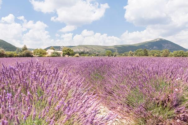 lavanda-provenza-(1)a