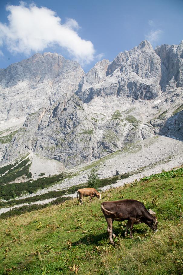 mucca montagne