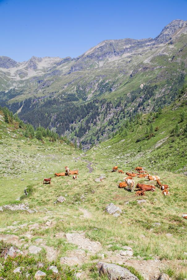 pascoli mucche montagna