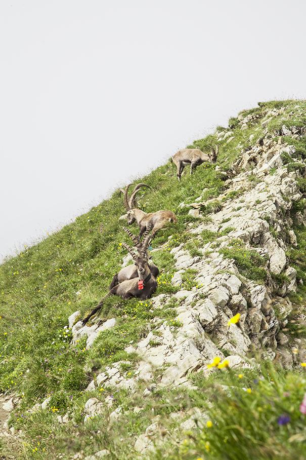 montagne francesi | alta savoia | panorama montagna | stambecchi