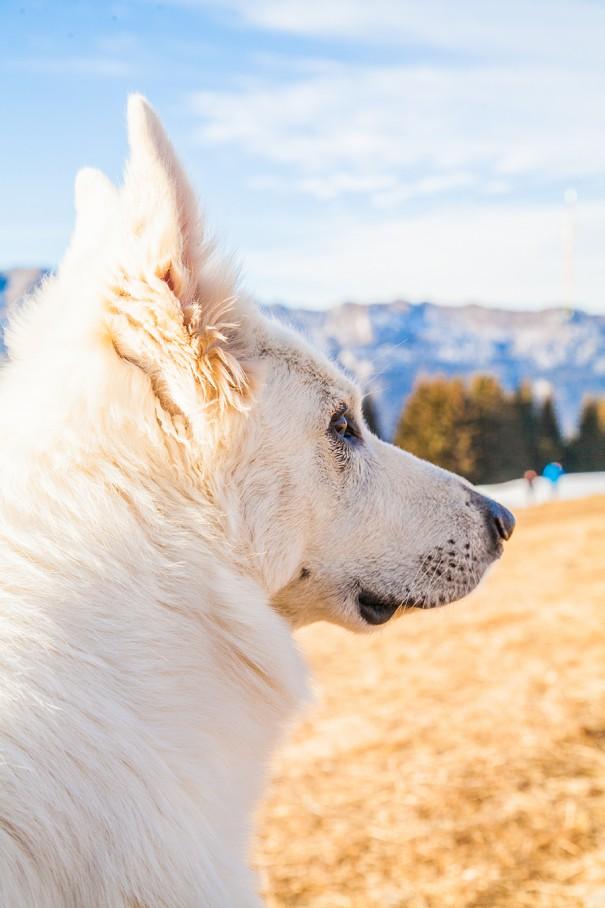 lupo bianco in montagna