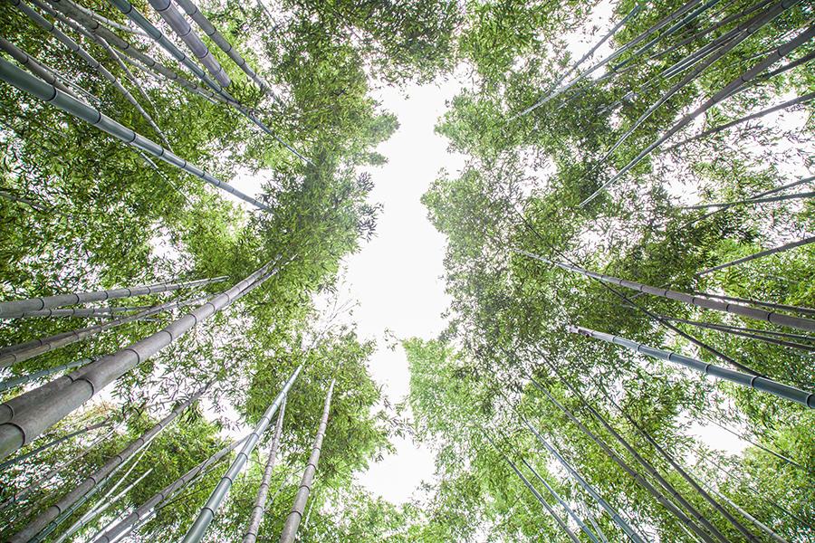 foresta di bamboo giappone