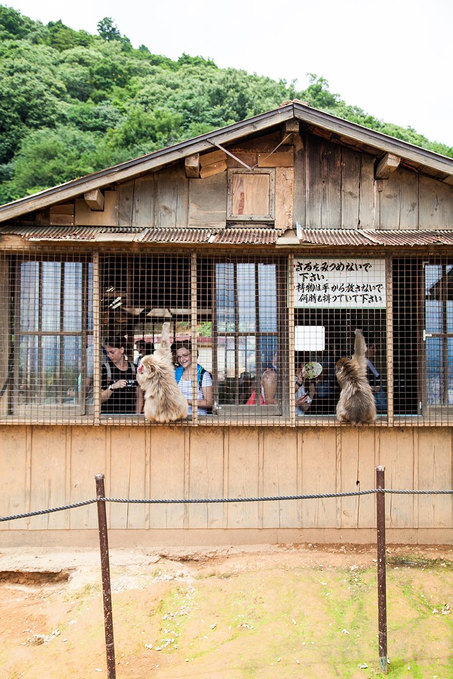 monte macachi scimmie giappone kyoto