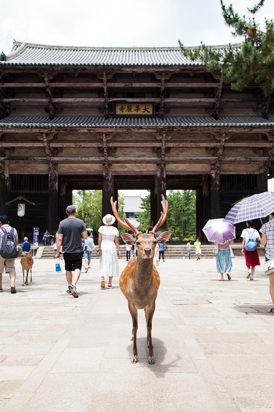 nara tempio e cervi