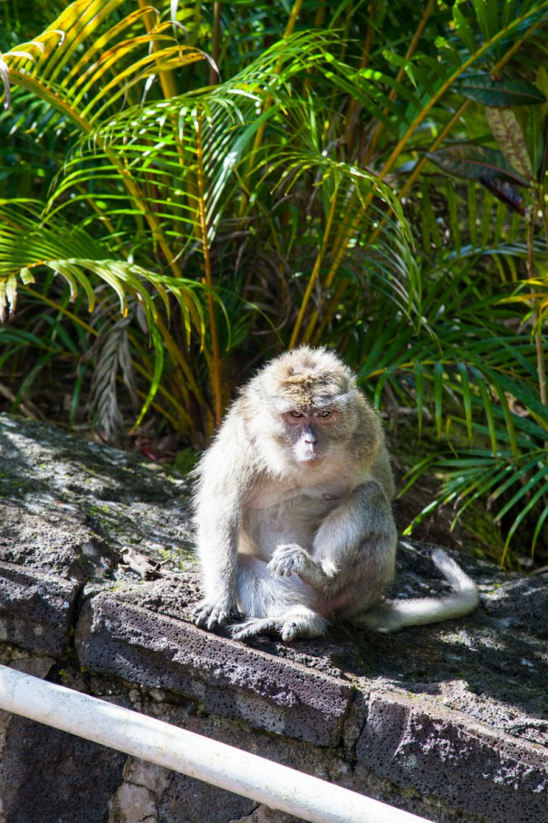 mauritius GRAND BASSIN macaco